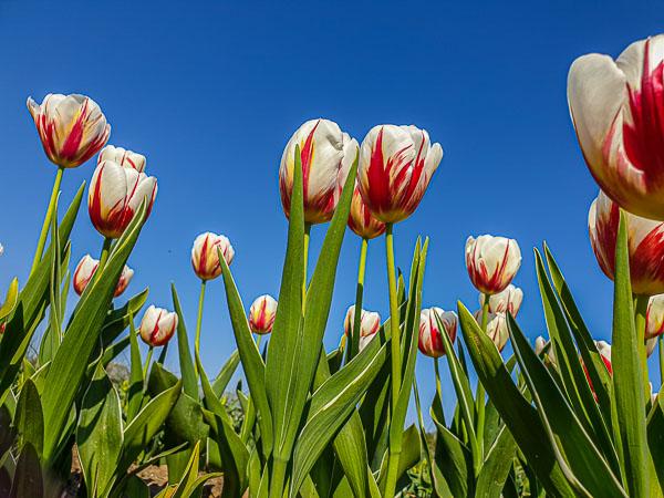 Ep 3 Ferme Viltane. Tulips. April 2019