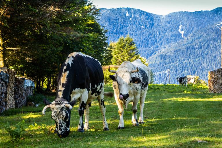 2019 08 Kruth Vosges Cows