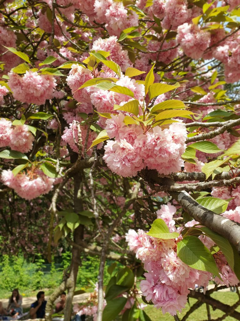 More Cherry Blossoms.