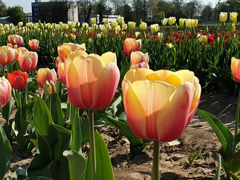 Duo-coloured tulips