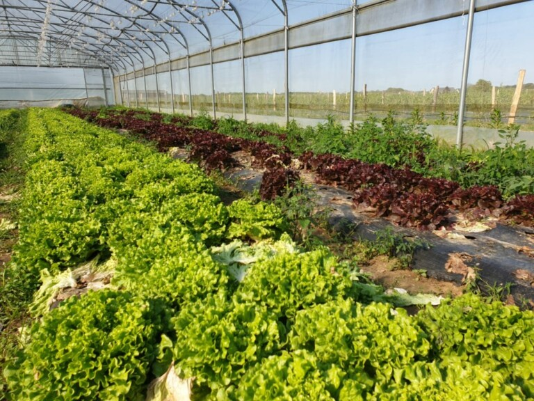 Greenhouse: Rows of Lettuce
