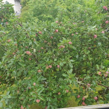 Crown of Apple Tree viewed from our veranda. Photo was taken in July. The tree was packed with apples. Unbeknown to us, most of these apples are sick.